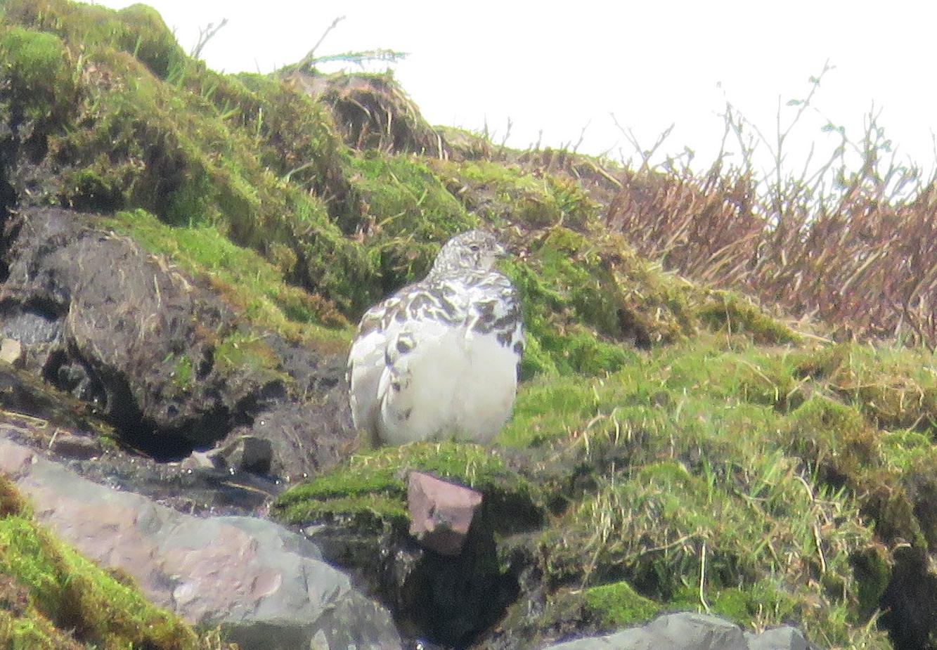 White-tailed Ptarmigan-1
