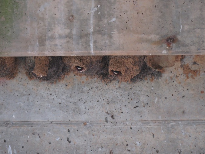 cliff swallow nest theo.jpg