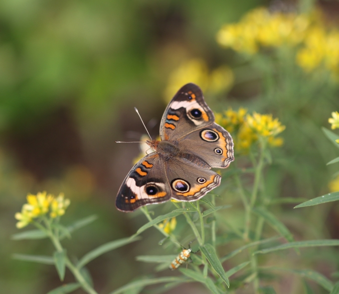 Creature Feature: Common Buckeye | Birds and Buds